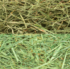raygrass